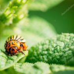 depositphotos_54071001-stock-photo-macro-shoot-of-potato-bug